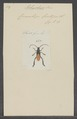 Polyschisis - Print - Iconographia Zoologica - Special Collections University of Amsterdam - UBAINV0274 033 18 0002.tif