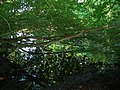 Pond tree reflections at Ticehurst, East Sussex.jpg