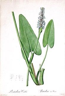 Pontederia Wikipedia