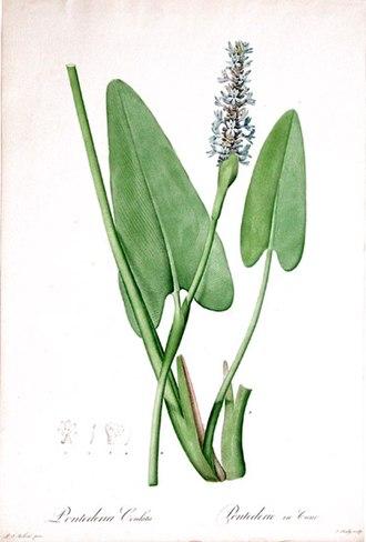 Pontederia - Pontederia cordata
