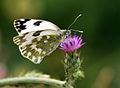 Pontia edusa - New bath white.jpg