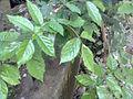 Poongam, போங்கம், a tree.jpg