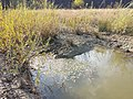 Potamogeton nodosus sl55.jpg