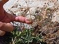 Potentilla diversifolia (5066466040).jpg