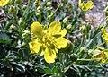 Potentilla orientalis (Rosaceae) (50053491081).jpg