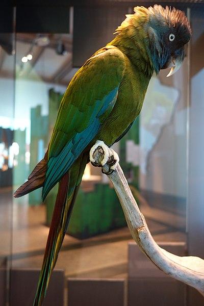 File:Primolius couloni stuffed specimens Berlin 27.jpg