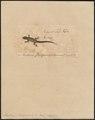 Pristurus flavipunctatus - 1700-1880 - Print - Iconographia Zoologica - Special Collections University of Amsterdam - UBA01 IZ12300069.tif