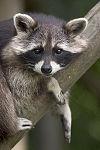 Procyon lotor (raccoon).jpg