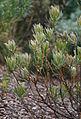 Protea compacta leaves.jpg