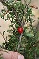 Prunus (Cerasus) tianschanica (Rosaceae) (32424717644).jpg