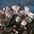Prunus cerasifera - Prunier myrobalan - Rameau-20180429.jpg