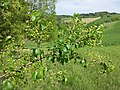 Prunus mahaleb sl20.jpg