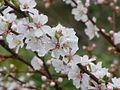 Prunus tomentosa2.jpg