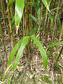 Pseudosasa japonica5.jpg