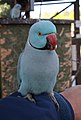 Psittacula krameri -The Parrot Zoo, Friskney, Lincolnshire, England -male-8a.jpg