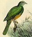 Ptilinopus bernsteinii (cropped).jpg