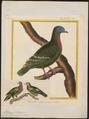 Ptilinopus viridis - 1700-1880 - Print - Iconographia Zoologica - Special Collections University of Amsterdam - UBA01 IZ15600055.tif