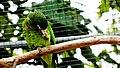 Puerto Rican Parrot (6780691126).jpg