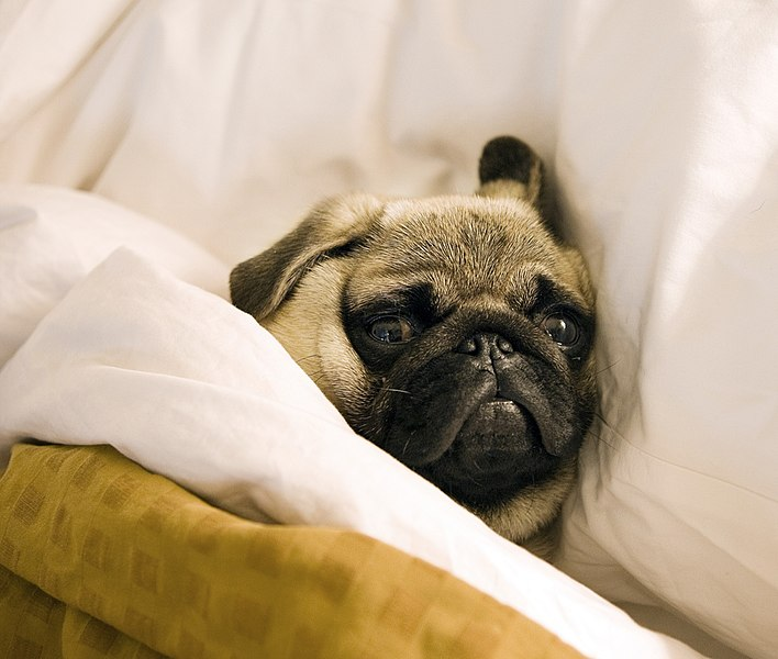 File:Pug lying in bed with its head on the pillow.jpg