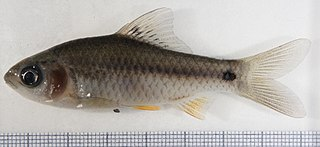 <i>Puntius</i> genus of fishes