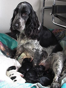 English Cocker Spaniel - Wikipedia