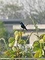 Purple Sunbird (Cinnyris asiaticus) (15702279487).jpg
