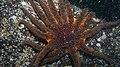 Pycnopodia helianthoides (9881411695).jpg