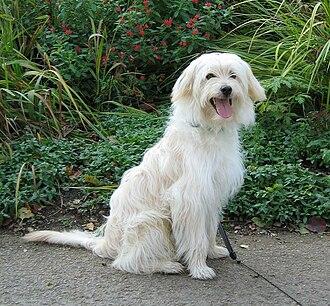 Pyrenean Shepherd - Pyrenean Sheepdog.