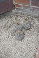 Pyrrhocactus Bulbocalux-Argentina (1) (11982418465).jpg
