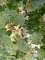 Pyrrhocoris apterus on Alcea rosea in Charente-Maritime 01.JPG