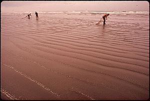 Seaside, Oregon - Harvesting razor clams