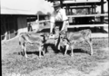 Queensland State Archives 1685 Twin Jersey calves c1952.png