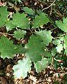 Quercus × morehus kz1.jpg
