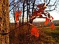 Quercus cerris sl6.jpg