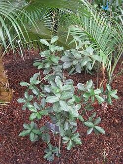 Quercus oleoides var. sagraeana - Berlin Botanical Garden - IMG 8725.JPG