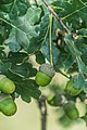 Quercus robur in Aveyron 02.jpg
