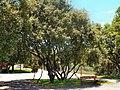 Quercus rotundifolia Lam..JPG