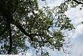 Quercus velutina 6zz.jpg