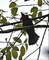 Querula purpurata (male) -NW Ecuador-4