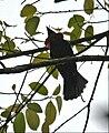 Querula purpurata (male) -NW Ecuador-4.jpg