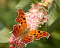 Question Mark Polygonia interrogationis Flower 2506px.jpg