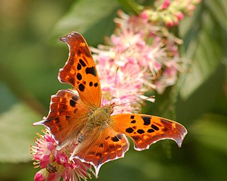Polygonia interrogationis - Image: Question Mark Polygonia interrogationis Flower 2506px
