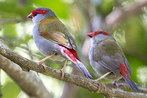 Red-browed finch - North Queensland