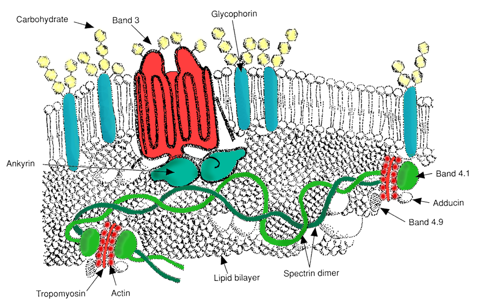 RBC membrane major proteins