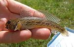 Racer goby from the Bug River 4.jpg