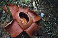 Rafflesia-Kelantanesis-Gan.jpg