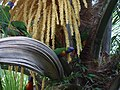 Rainbow lorikeets in a cocos palm (3084627340).jpg