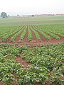 Ranks of potato plants. - geograph.org.uk - 459330.jpg