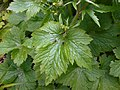 Ranunculus lanuginosus 2017-04-30 9106.jpg