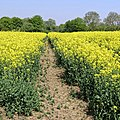 Rape field at Hatfield Broad Oak, Essex England 03.jpg